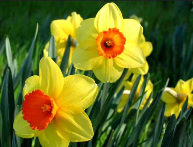 Yellow daffodils with orange centers photos.JPG