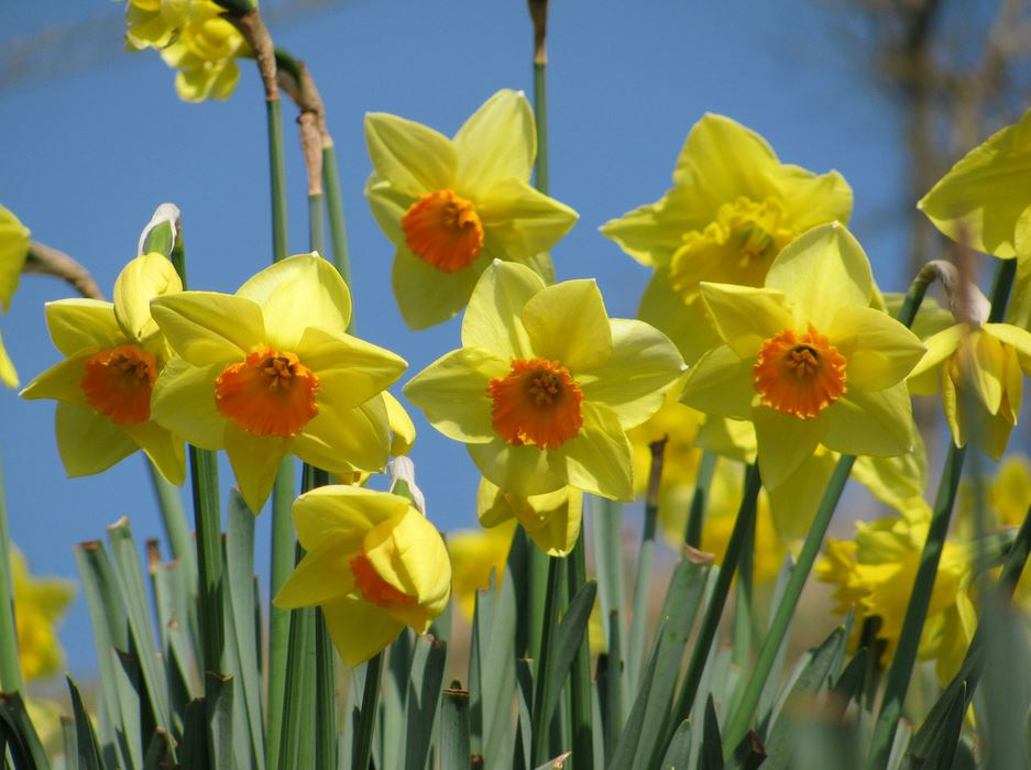 Yellow daffodils with orange centers.JPG