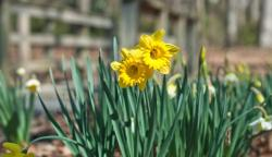 Yellow flowers garden photos of daffodils.JPG