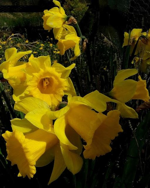 Yellow flowers garden pictures of daffodils.JPG