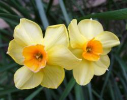 Yellow orange daffodils pictures.JPG