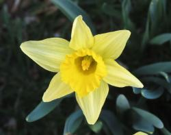 Yellow star flowers picture of daffodils.JPG