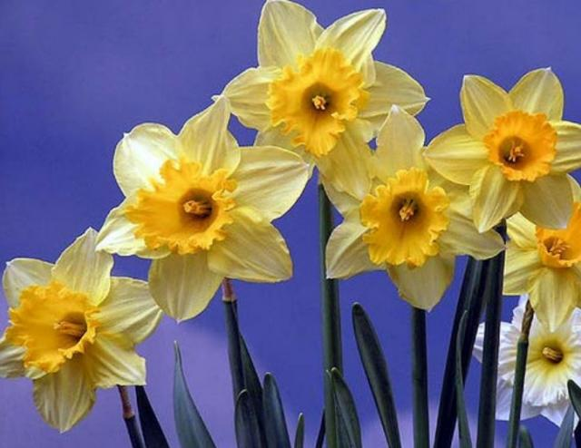 Yellow white Daffodils flowers pictures.JPG