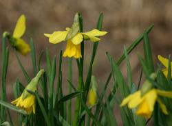 Young daffodils pictures.JPG