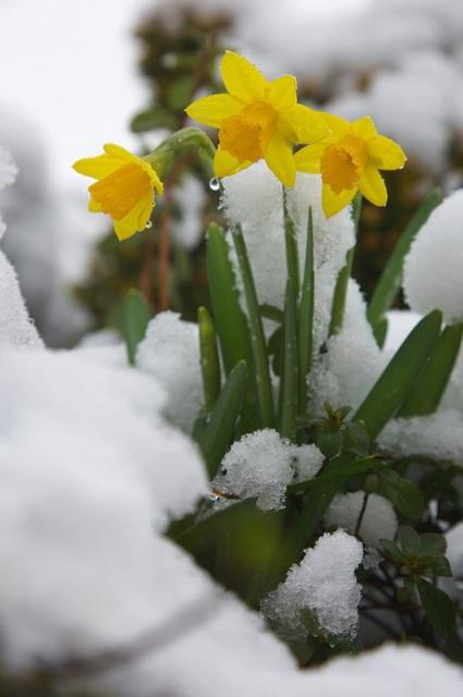 Winter flowers picture of daffodils blooming in snow.JPG