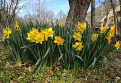 Beautiful spring flowers images of tall daffodils in yellow with orange yellow centers.JPG