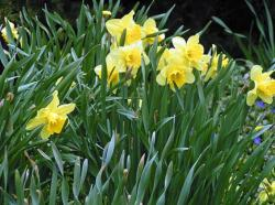 Beautiful spring flowers photos of yellow daffodils.JPG