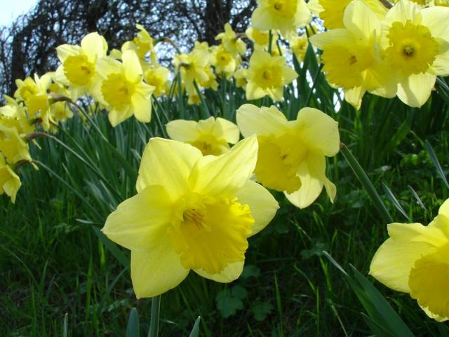 Beautiful spring flowers pictures of daffodils in yellow.JPG