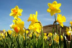 Beautiful spring flowers with full of daffodils.JPG