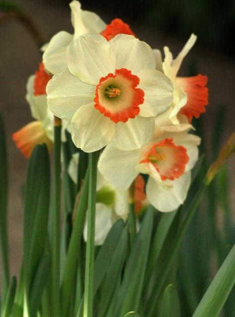 beautiful winter flowers in white and orange centers jpg