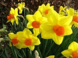 Beautiful winter flowers picture of yellow daffodils with orange centers.JPG
