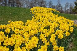 Beautiful yellow daffodils fields pictures.JPG