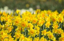 Bright yellow flowers field with full of daffodils.JPG