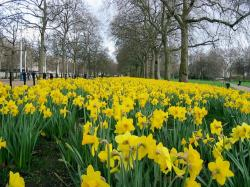 City garden with full of beautiful bright yellow daffodils.JPG
