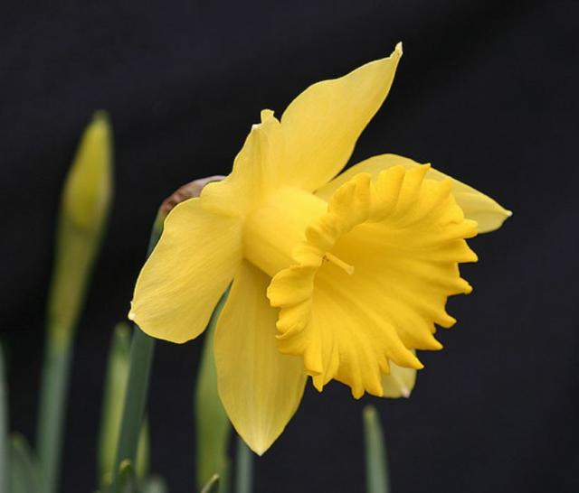 Close up photos of bright yellow daffodil.JPG