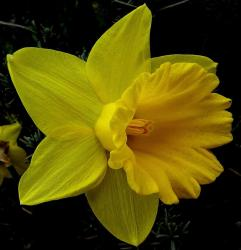 CLose up picture of a beautiful yellow daffodil flower.JPG