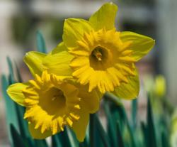 Close up pictures of beautiful daffodils in bright yellow.JPG