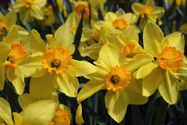 Close up pictures of daffodils fields.JPG