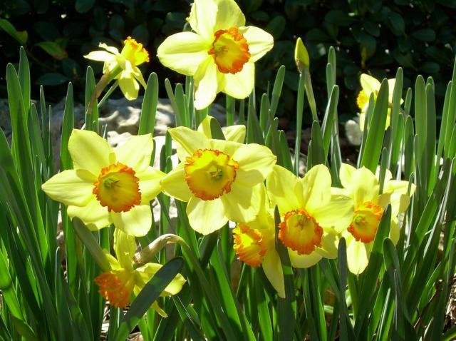Close up pictures of spring flowers daffodils.JPG