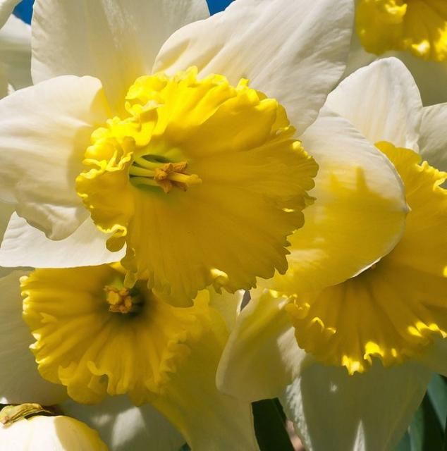 Closed up photo of yellow daffodils.JPG