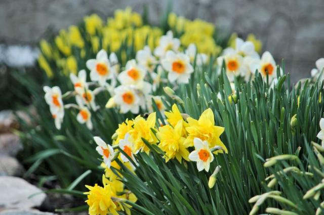 Cold weather flowers photos of daffodils in yellow and white.JPG