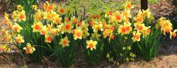 Colorful winter flowers photos of daffodils in yellow with orange centers.JPG