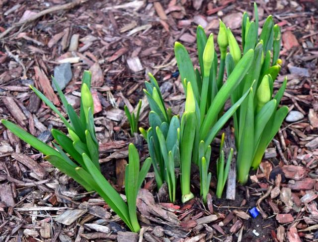 Daffodil buds pictures.JPG