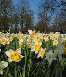 Daffodils fields pictures.JPG