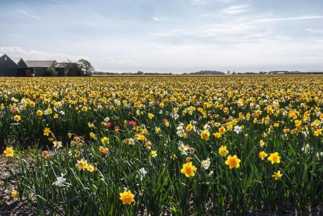 Daffodils flowers fields pictures.JPG