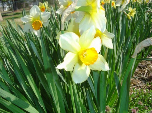 Garden spring flowers with white daffodils with yellow centers.JPG