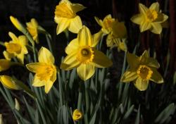 Images of yellow daffodils.JPG