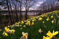 Natural garden full of yellow and white daffodils images.JPG