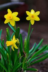 Small spring flowers in bright yellow daffodils photos.JPG