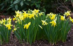 Spring flowers garden pictures of yellow daffodils.JPG