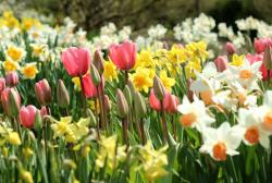 Spring flowers pictures of daffodils and tulips_cold weather flowers pictures.JPG