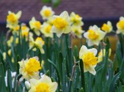 Spring garden flowers in white yellow daffodils pictures.JPG