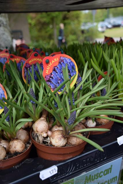 Muscari Bulbs for Sale @ Keukenhof.jpg