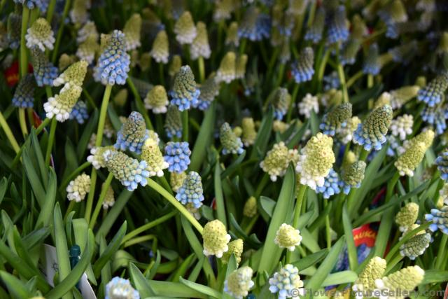 White and Blue Muscari Mix for Sale @ Keukenhof.jpg