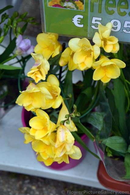 Yellow Freesia Flowers for Sale @ Keukenhof.jpg