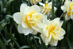Double Daffodil in White from Holland.jpg