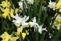 Triandrus Daffodils in White and Yellow.jpg