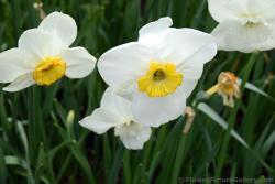 White Small Cupped Daffodils Kleinkronige Narcis (Close-Up).jpg