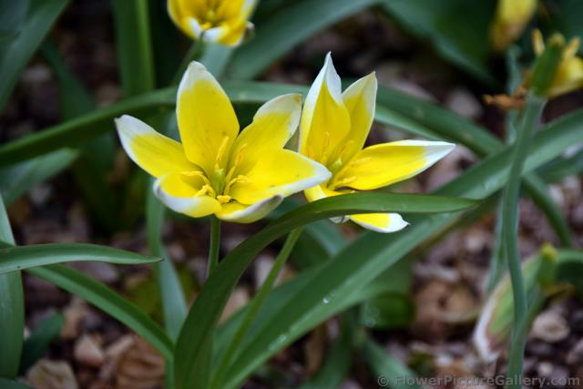 tulipa tarda yellow and white asian tulips jpg hi