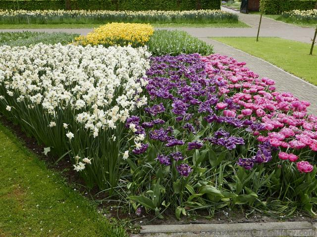 White Purple & Pink Flowers Garden of Keukenhof.jpg