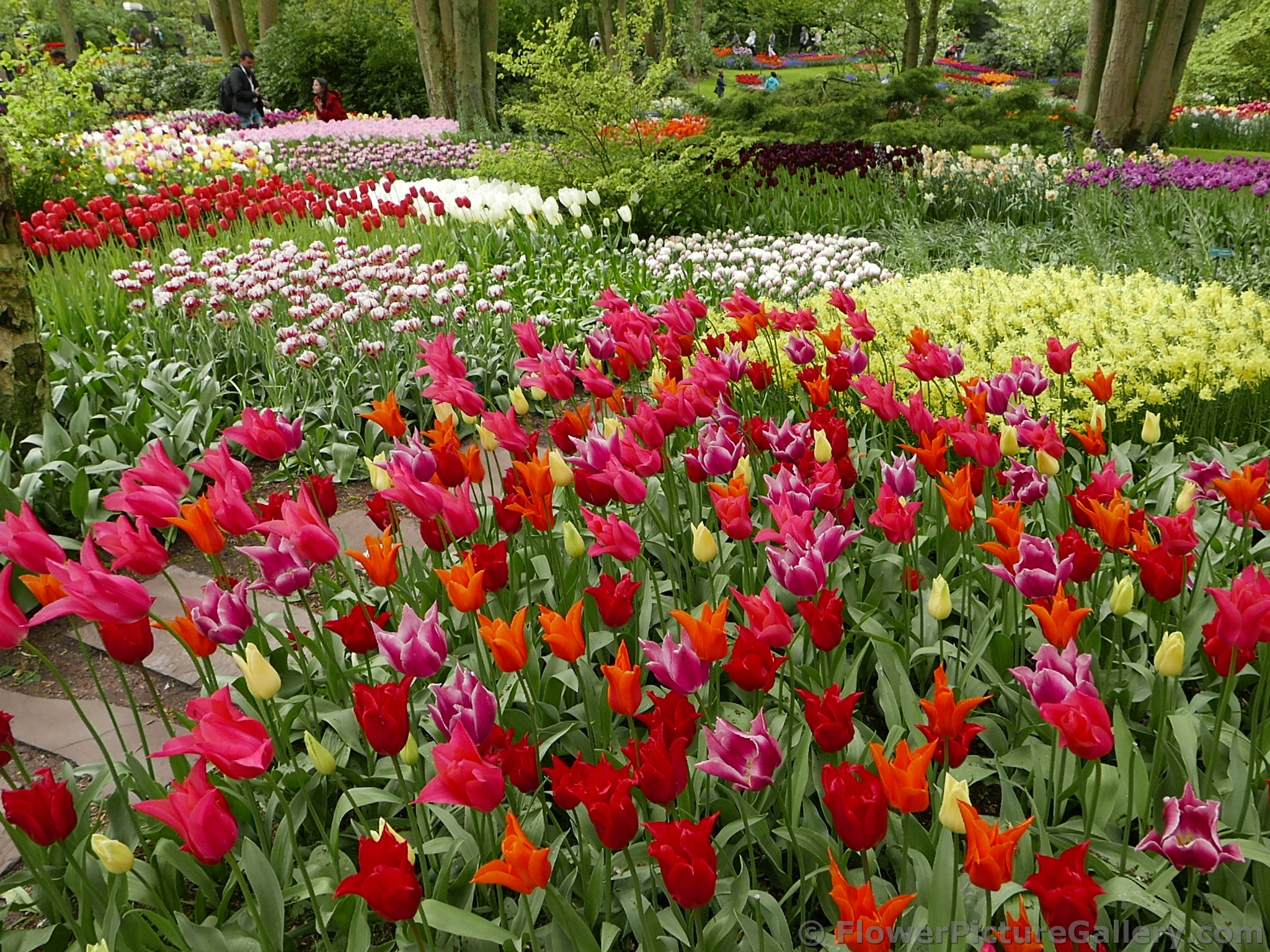 Beautiful Tulips Garden Mix of Colors in Keukenhof 2015.jpg