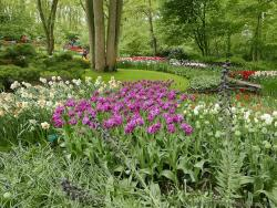 Keukenhof Tulips Gardens with Tall Trees in the Background.jpg