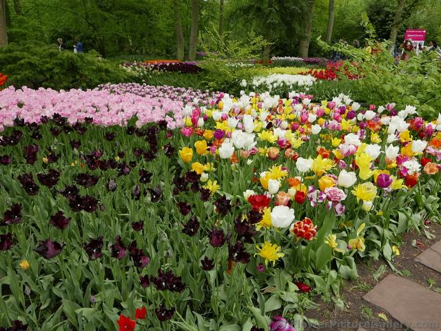Myriad of Colorful and Dark Tulips @ Keukenhof 2015.jpg