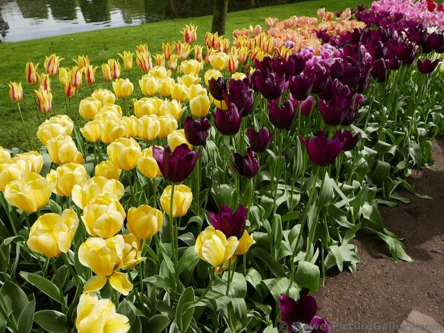 Dark Purple Tulips Intermixed with Yellow Ones @ Keukenhof.jpg