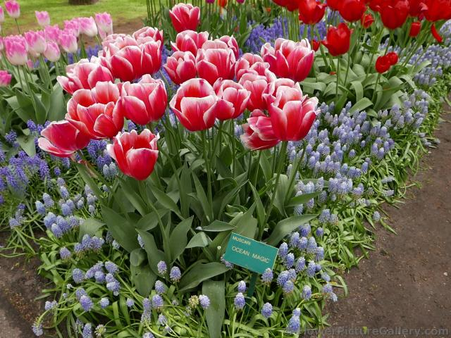 Ocean Magic Muscari Hyacinth Flowers with Red Tulips in Keukenhof 2015.jpg