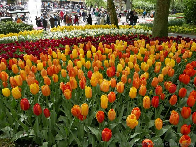 Orange and Red Tulips near the Keukenhof fountain.jpg
